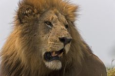 Last Lion Kings Of The World Captured In Photos Male lion with battle scars in the Okavango Delta in Botswana
