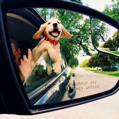 Best Of Cute Golden Retriever Puppies Compilation Cute Puppies, Cute Dogs, Dogs And Puppies, Doggies, I Love Dogs, Puppy Love, Happy Puppy, Cutest Puppy, Happy Animals