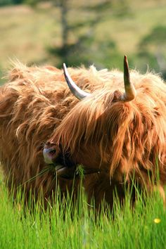 """How can you not love these Scottish """"coos? Scottish Highland Cow, Highland Cattle, Scottish Highlands, Beautiful Bugs, Animals Beautiful, Long Haired Cows, Fluffy Cows, Fluffy Animals, Animals"""