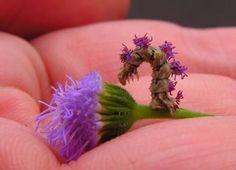 Which is the flower and which is the caterpillar? The camouflaged looper inchworm (Synchlora aerate) is a genius at camouflage (hence the name); it glues bits of flowers to its back in order to blend into its surroundings.