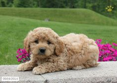 Jimmy - Mini Labradoodle Puppy for Sale in LaGrange, IN Mini Labradoodle Puppy, Labradoodle Puppies For Sale, Dogs And Puppies, Miniature Australian Labradoodle, Labradoodles, Pet Stuff, Four Legged, Pennsylvania, Pets