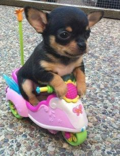 cute puppy riding a small bicycle