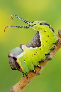 Caterpillar strutting her stuff:-) , Lorenzo Shoubridge Cool Insects, Bugs And Insects, Weird Insects, Reptiles, Beautiful Bugs, Beautiful Butterflies, Beautiful Creatures, Animals Beautiful, Caterpillar Insect