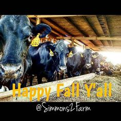 Happy Fall Y'all! #Fall2016 #TheGirlsOfFall #TMR #CowChow #holsteinjerseycross #farminginthesouth #dairyfarm #Simmons2Farm