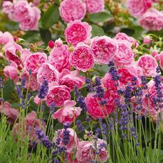 """How to Grow English Roses 