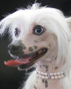 rare blue-eyed chinese crested
