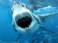 machoire-grand-requin-blanc.jpg (1024×768)