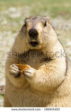 Funny marmot (woodchuck) with biscuit on the meadow (Ladakh, India)