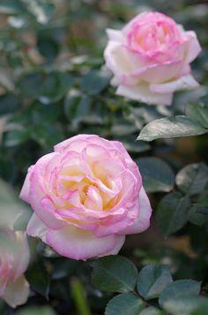 Rose 'Princess de Monaco'   Hybrid Tea Rose