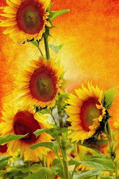 Sun Facing Sunflowers