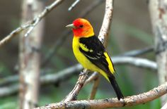 photo western_tanager.jpg sequoia