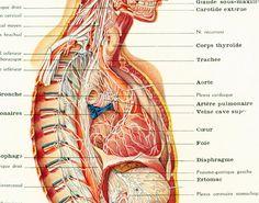 1912 Cerveau Nerfs Anatomie decor cabinet medical  illustration Planche originale Larousse  decor vintage 105 ANS D'AGE