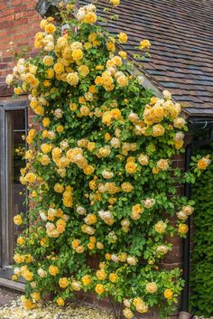 Flower Garden Landscaping 10 Easy Tips to Plant a Climbing Rose.Flower Garden Landscaping 10 Easy Tips to Plant a Climbing Rose Garden Cottage, Rose Cottage, Beautiful Roses, Beautiful Gardens, Climbing Flowers, Yellow Climbing Rose, Rose House, Growing Roses, Yellow Roses