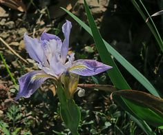 Iris munzii—Munz's iris. Regional Parks Botanic Garden Picture of the Day. 18 Mar 2016