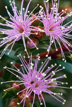 Image result for pigface flower