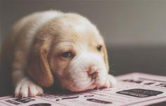 Newborn beagle puppies.