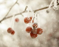 Red Berries in Winter Photograph  snow cold by FirstLightPhoto