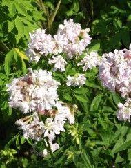 Øvrige Blomster – Side 9 – Bjarne's frø og planter