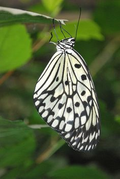 Tree Nymph butterfly (Idea leuconoe