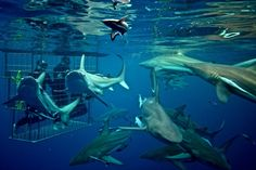 Shark Diving tours with Shark Cage Diving KZN, South Africa #dirtyboots #adventuresouthafrica #sharkcagediving
