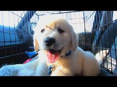 A year in the life of Cooper the golden retriever puppy.. cuteness rating a 10 | clickworthy