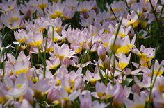Tulipa saxatilis: cliff tulip