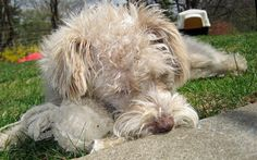 Daisy the Poodle Mix