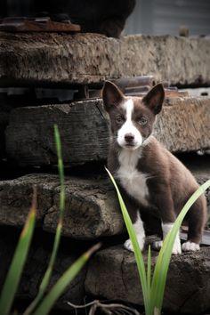 Claira... kelpie x border collie ...perhaps the perfect mix! Dog Best Friend, Dog Friends, Smartest Dogs, Different Dogs, Border Collie Mix, Working Dogs, Australian Cattle Dog, Dog Names, Baby Aspen