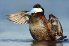 Sexual competition among ducks wreaks havoc on penis size. When forced to compete for mates some birds develop longer penises and others almost nothing at all. Fun Cup, All Or Nothing, Competition, Science, Ducks, Birds, Biology, Nature, Animals
