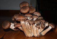 Guláš z václavek - václavky - houbový guláš + foto postup........ http://www.ok-recepty.cz/view.php?cisloclanku=2008100037