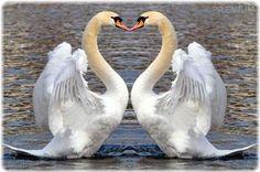 Учитесь верности у лебедей, любите так, как любят эти птицы. Ведь если взять вселенную, ни с чем любовь такая не сравнится. Они не люди, но какая стать, какая нежность, преданность друг другу. Их чувство невозможно передать, оно подобно истинному чуду…