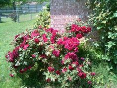 'Valentine'  Antique rose from Antique Rose Emporium in Brenham Texas.