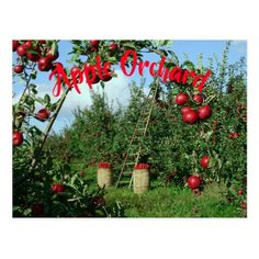 The Apple Orchard Postcard - red gifts color style cyo diy personalize unique