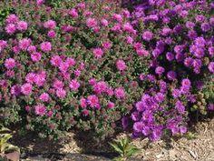 http://www.abnativeplants.com/index.cfm/fuseaction/plants.plantDetail/plant_id/398/index.htm
