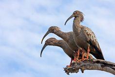 Foto maçarico-real (Theristicus caerulescens) por Cassiano Zaparoli (zapa) | Wiki Aves - A Enciclopédia das Aves do Brasil