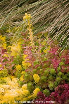 drought tolerant hardy succulent groundcover foliage tapestry of Sedum 'Angelina' and Sedum spurium in California garden