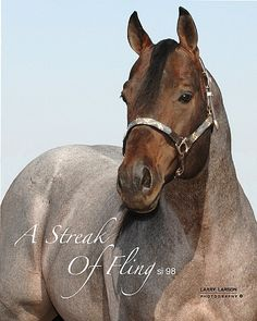 A Streak of Fling...strawberry roans. yum Quarter Horse