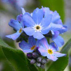 Alaska State Flower & Floral Emblem: Wild Native Forget-me-not