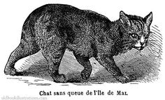 Illustration showing a Manx cat, a breed of cats with a naturally occurring mutation of the spine
