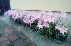 Zefírvirág gondozása, szaporítása Outdoor Gardens, Decor, Gardening, Bulbs, Balcony, House, Garden, Beautiful Flowers, Bonito
