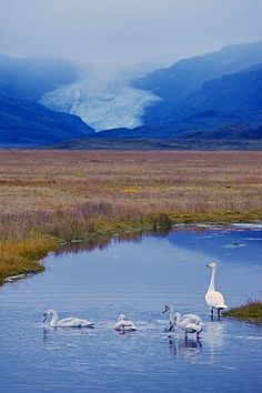 Whooper swans (Cygnus cygnus) family, Hoffelsjokull glacier in background, north of Hofn, East Fjords region (Austurland), Iceland, Polar Regions