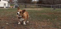 Corgi gif's always brightens my day. Cute Funny Dogs, Funny Dog Memes, Gifs, Corgi Gif, Baby Animals, Cute Animals, Dog Fails, Giant Dogs, Cute Dogs And Puppies