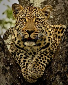 Ravenscourt young male portrait in tree Jaguar, Beautiful Cats, Animals Beautiful, Big Cats, Cats And Kittens, Chat Lion, Panthera Pardus, Small Cat, African Animals