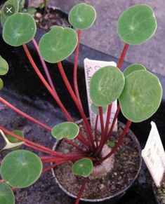 Peperomia Scutellifolia - Imgur