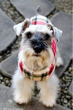 OMG Linus, my mini schnauzer, needs this outfit! #schnauzer #puppies #cute