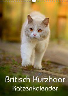 Britisch Kurzhaar Katzenkalender - CALVENDO Kalender von Nicole Noack