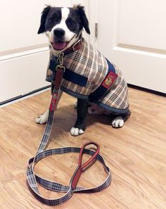 #wilcothedog and #bakerblanket - a perfect match!  Wilco loves his #Bakerdogcoat and #bakercollar!  #bakerdog #barndog #horseshowdog