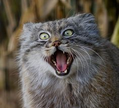 Manul cats are a near-threatened wild species found in the grasslands and montane steppes of Central Asia. More commonly known as Pallas' cats, they are distinguished by having round pupils, short legs, and a flat-looking face with wide-set ears that can create some of the funniest expressions in the feline kingdom.