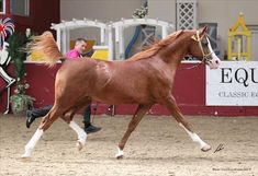 Authentic Colours of the Arabian Horse | The Arabian Magazine Online - The Worldwide Publication for the Arabian Horse Enthusiast