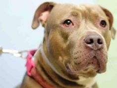 LUCY  A1117804 - - Brooklyn  TO BE DESTROYED 07/12/17 *NEW HOPE RESCUE PARTNER ONLY* -  Click for info & Current Status: http://nycdogs.urgentpodr.org/lucy-a1117804/